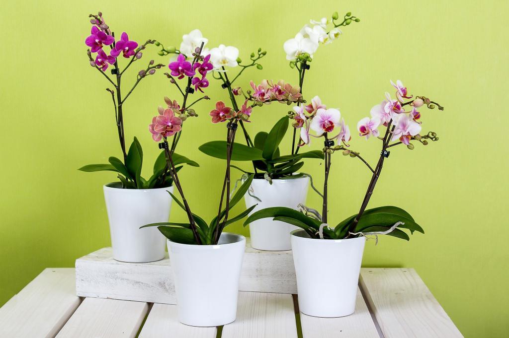 яркая экзотическая красавица - орхидея