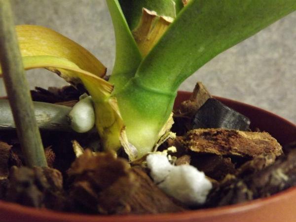 почему желтеют листья у орхидеи фаленопсис