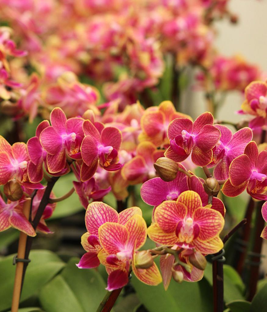 почему у орхидеи желтеют нижние