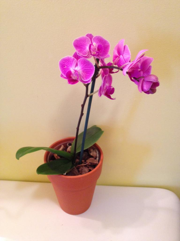 орхидея - царица подоконников