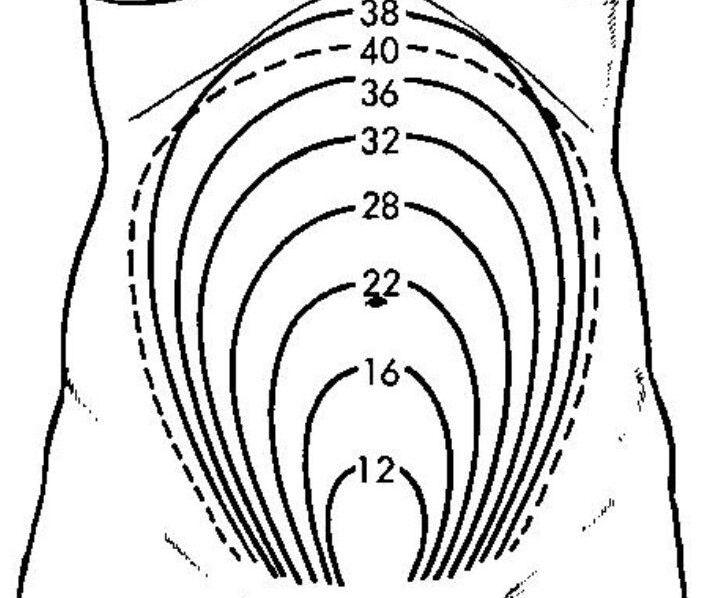 сроки беременности размеры живота