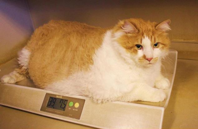 Ожирение у кошек после стерилизации
