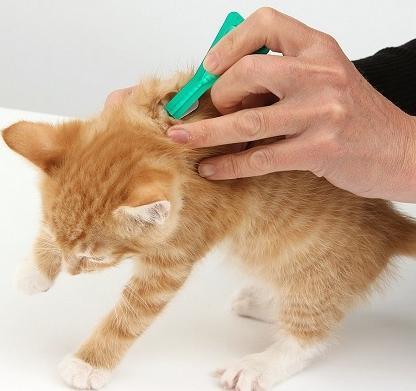 блохи у котят как избавиться
