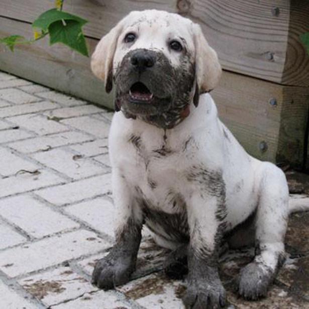 Щенок лабрадора в грязи