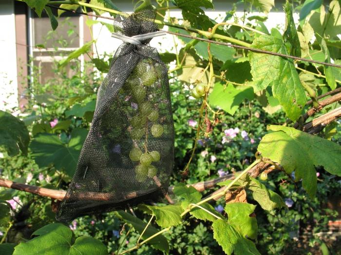 как спасти виноград от ос