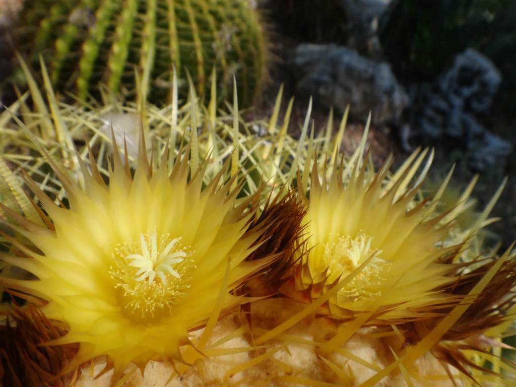 Цветы эхинокактуса