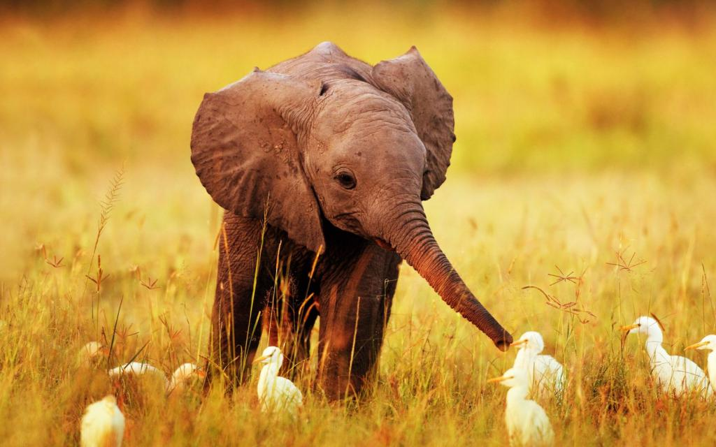 слоненок с цыплятами