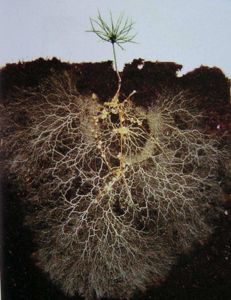 Симбиоз гриба и корней деревьев