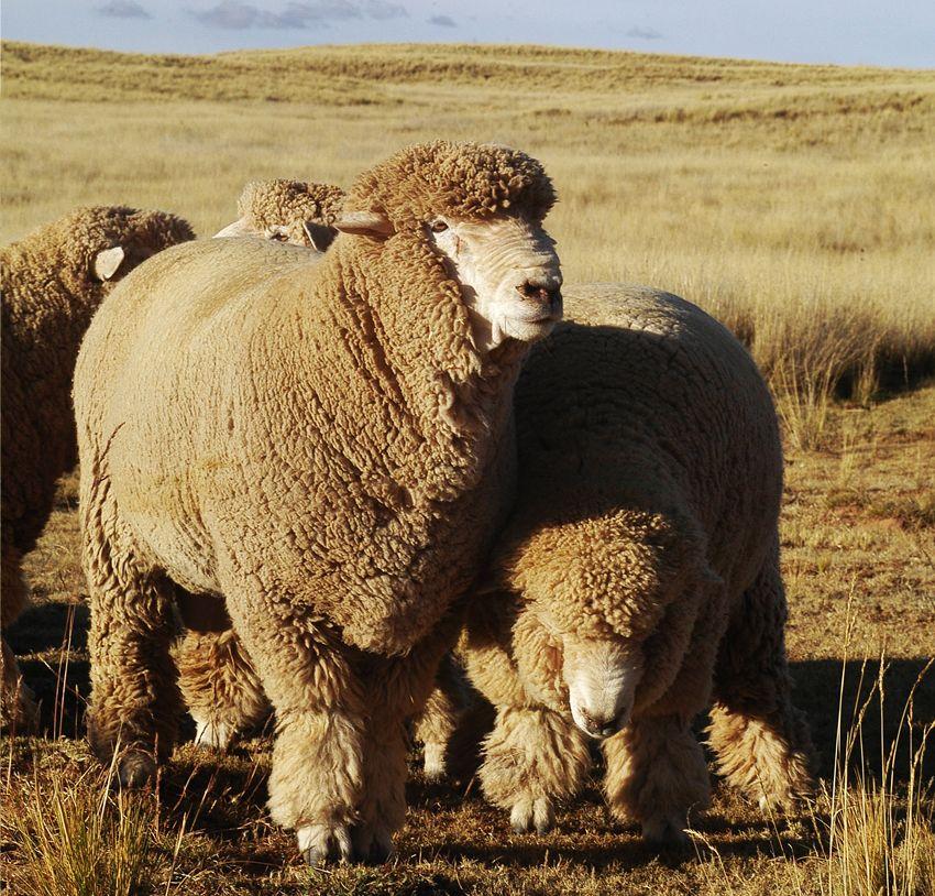 андийская порода овец