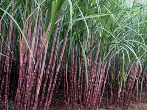 как делают сахар из тростника