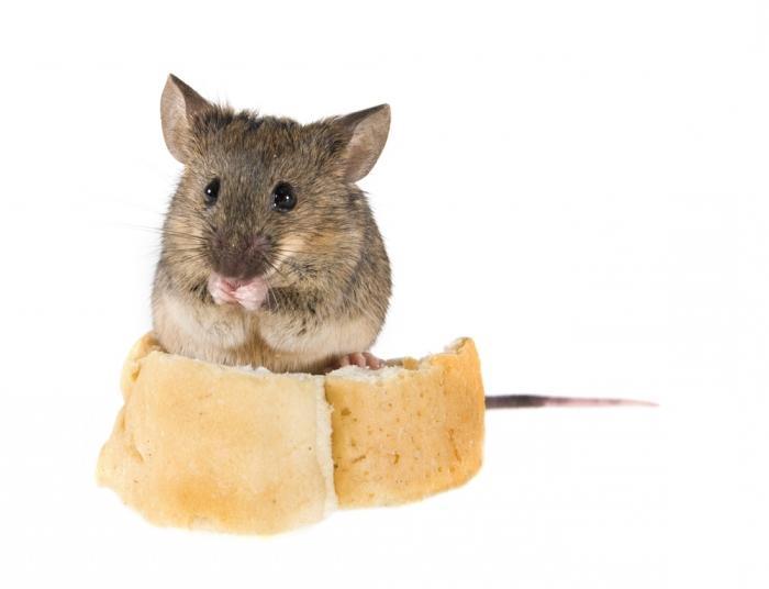 вывести крыс и мышей