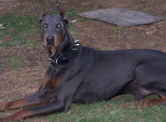 порода самой злой собаки