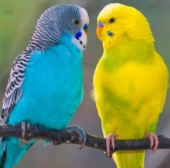 волнистые попугаи как определить возраст