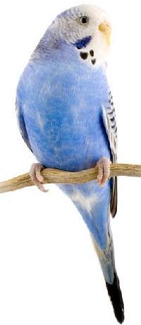 волнистые попугаи возраст