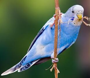 волнистый попугай как узнать возраст