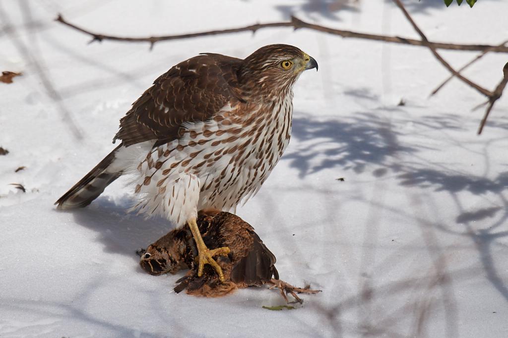 ловчие птицы охота