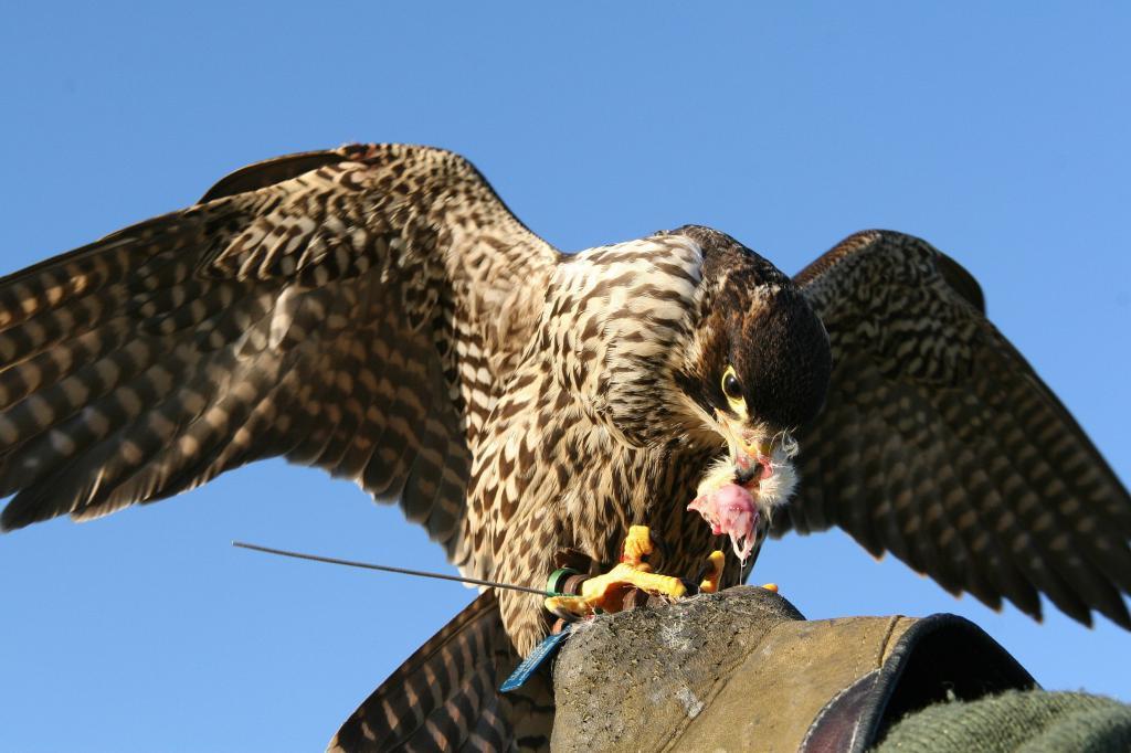 ловчие птицы на охоте