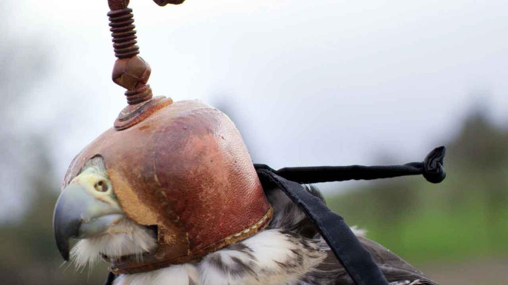 ловчая птица в клобуке