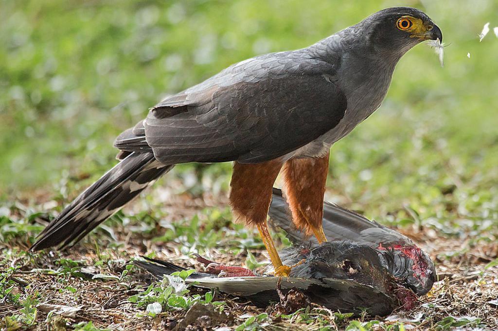 ловчая птица с дичью