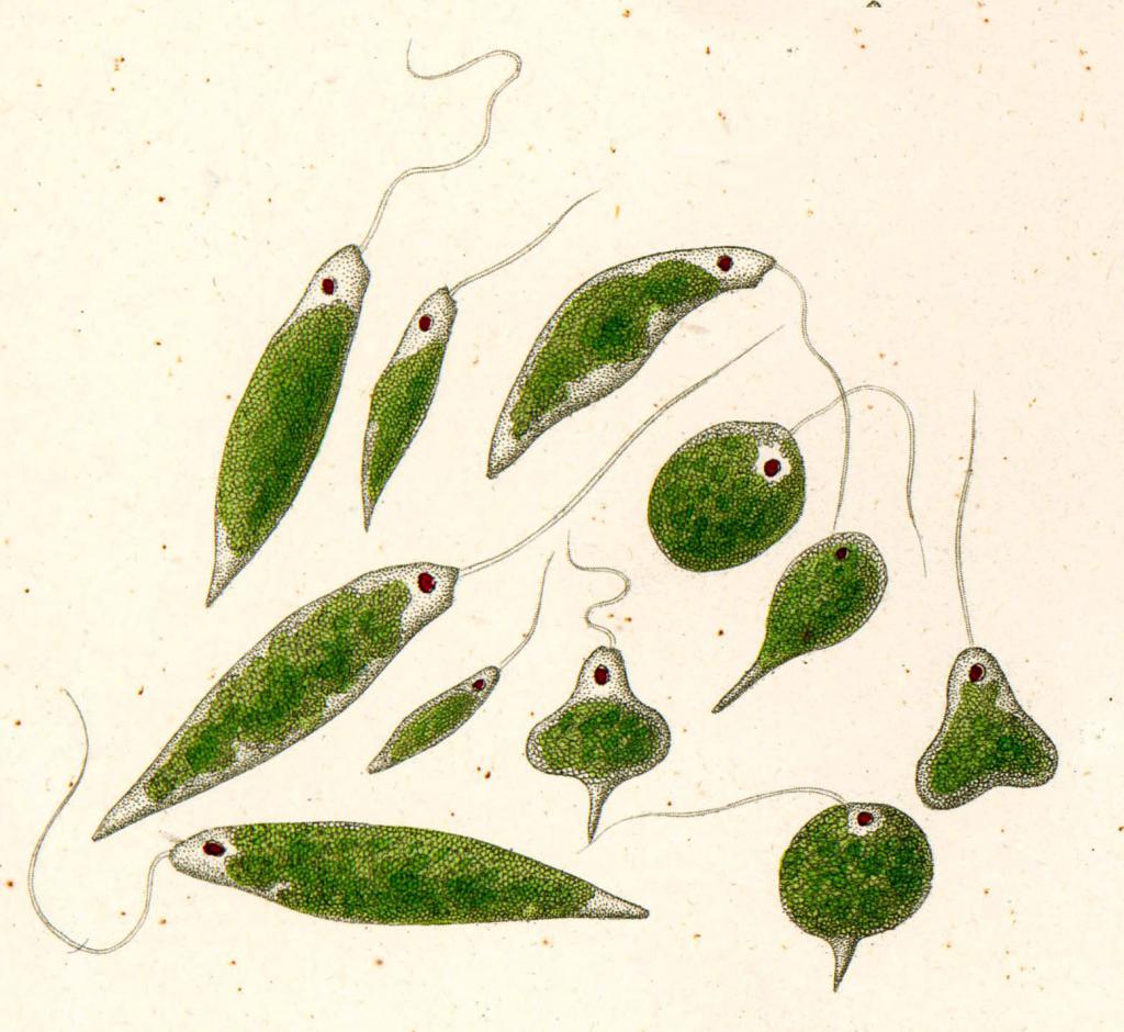 Растительные организмы класса Жгутиковые