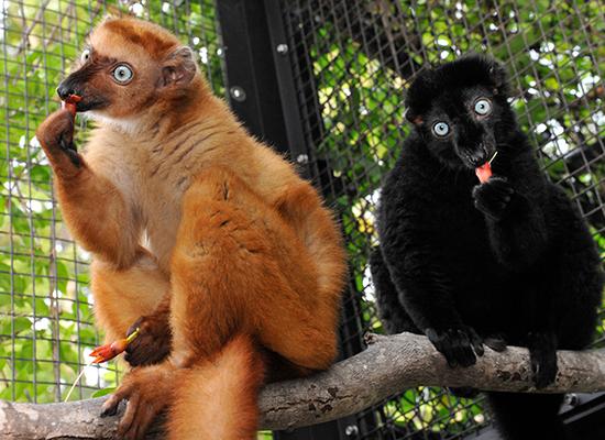 самец и самка черного лемура
