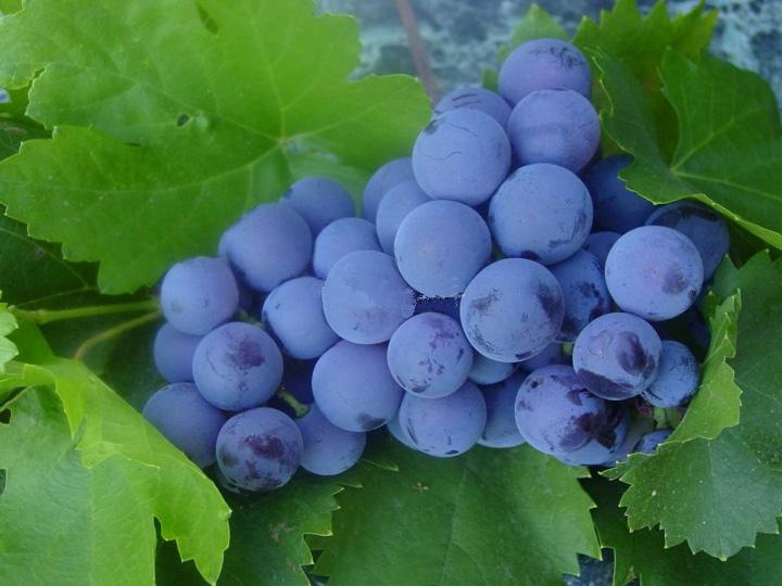 Виноград для вин