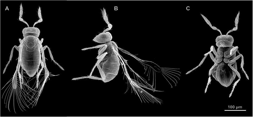 паразитический наездник Megaphragma mymaripenne