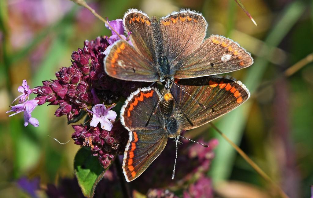 бабочка аберрация