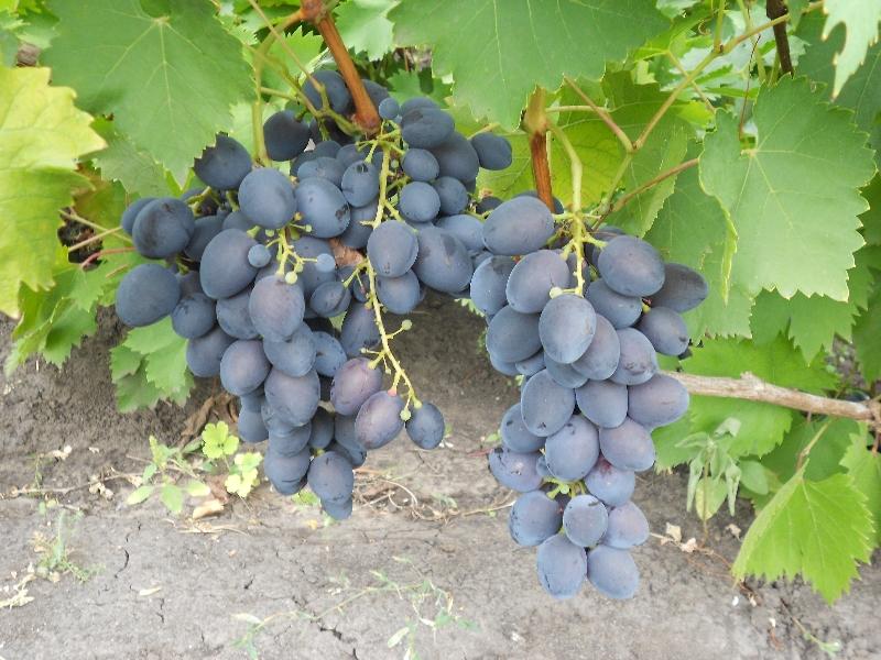 Гроздь винограда Голубок
