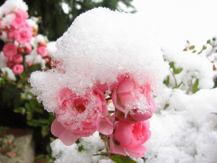 при какой температуре укрывать розы на зиму