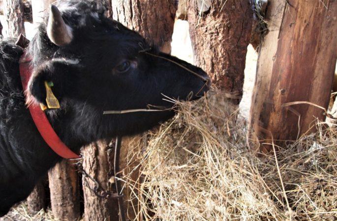 Кормление скота сеном