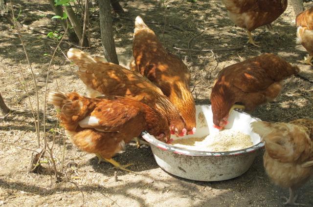 сколько лет курица хорошо несется