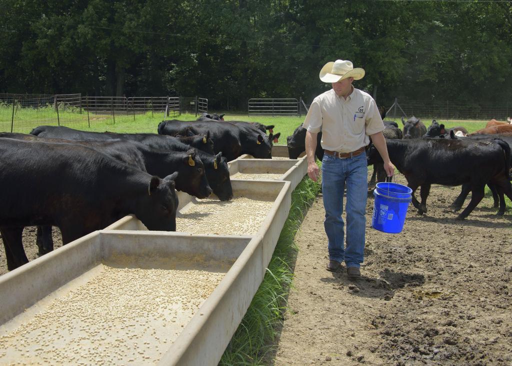 Как откормить бычка