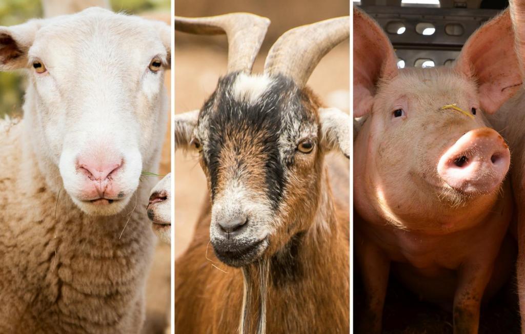 Овцы, козы, свиньи