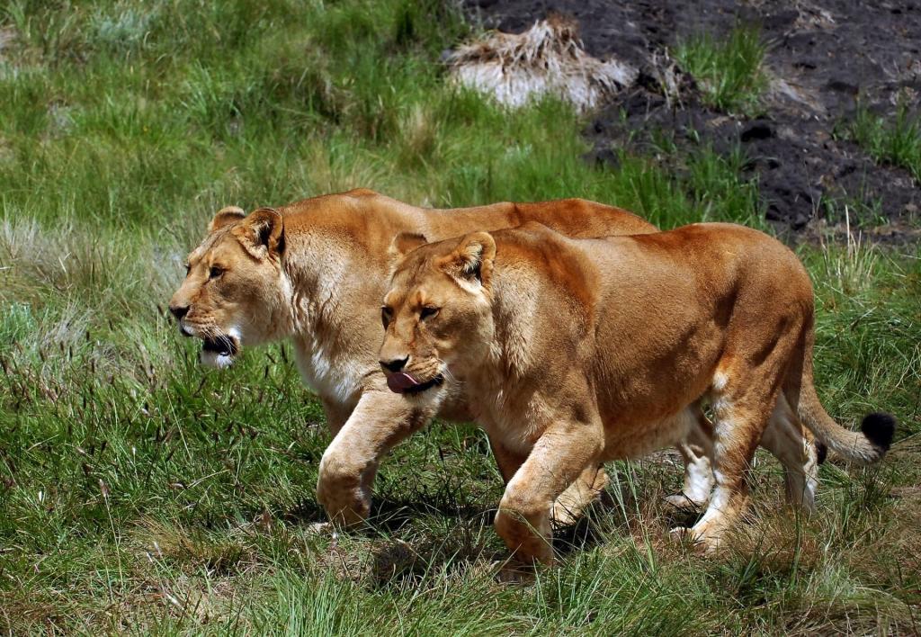 Как охотятся львицы?
