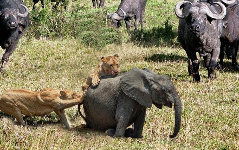 Львы нападают на слона