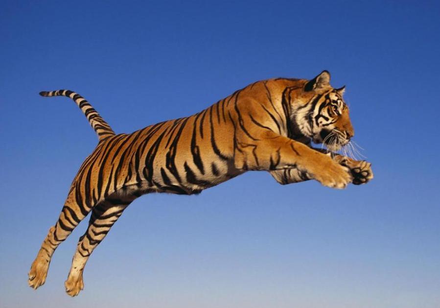 Охота тигров