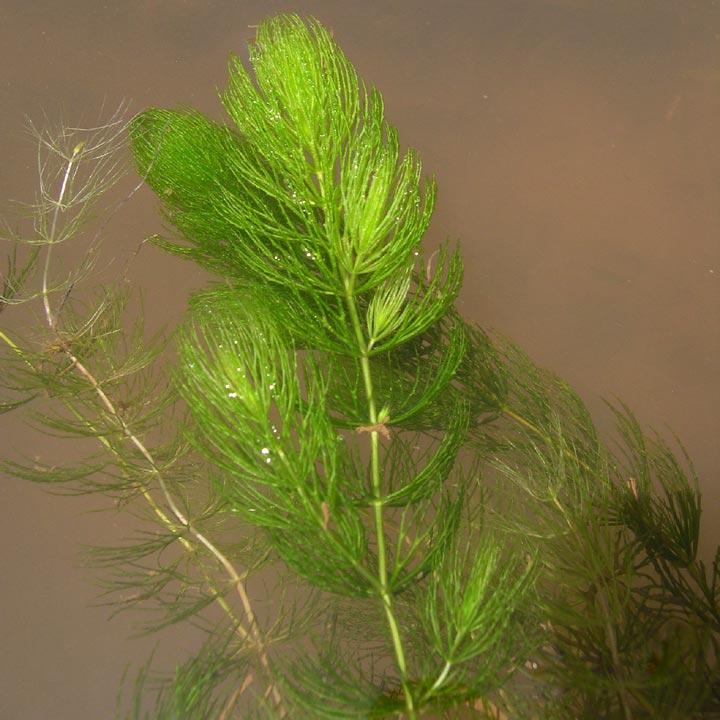 Растение роголистник