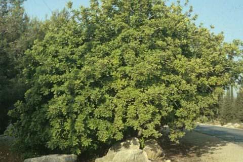 рожковое дерево полезные свойства