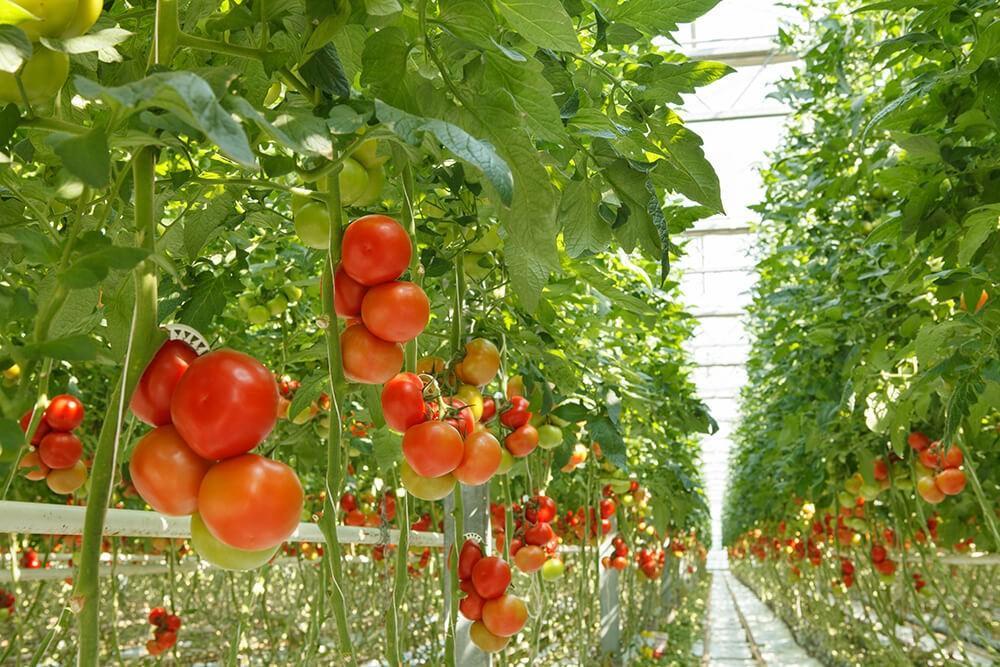 Кистевые томаты в теплице