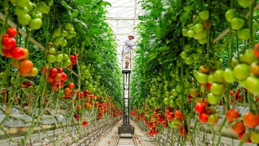 Выращивание кистевых томатов