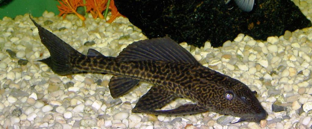 Рыба - присоска глиптоперихт