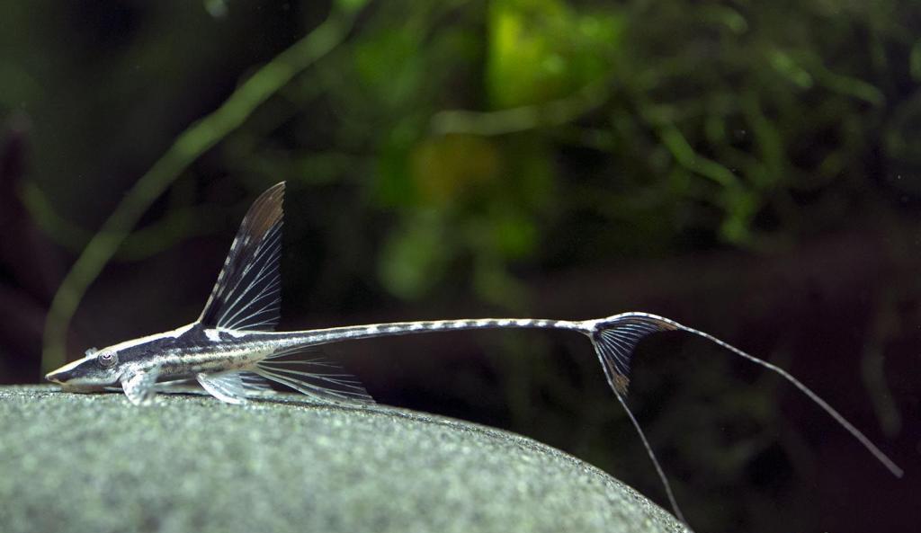 Стурисома в аквариуме