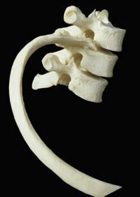 анатомия человека ребра
