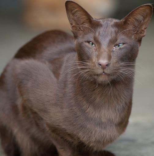 гавана кошка