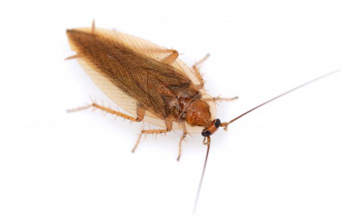 Тараканы насекомые размножение