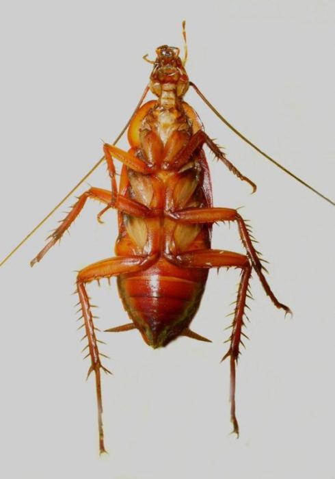 Тараканы насекомые фото