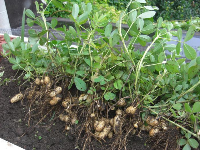 Выращивание арахиса в открытом 27