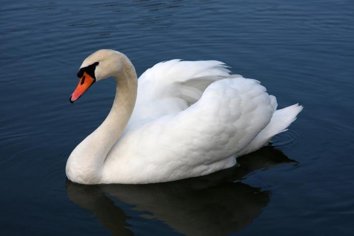лебедь шипун описание