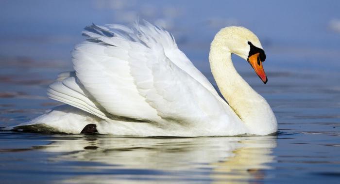 лебедь шипун отряд